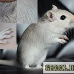 Diluted grey agouti - gerbil.dk
