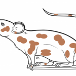 piebald krop