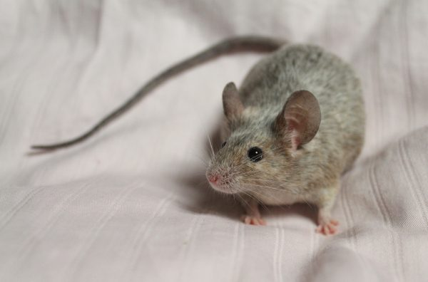 Dansk mus og gerbil foreningen roan mus